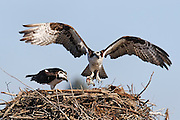 An osprey (Pandion haliaetus) delivers a fish to its nesting mate on an old piling off Jetty Island in Everett, Washington. Osprey find their prey by hovering over water, then plunging head and feet first. Barbed pads on their feet help them grip slippery fish.
