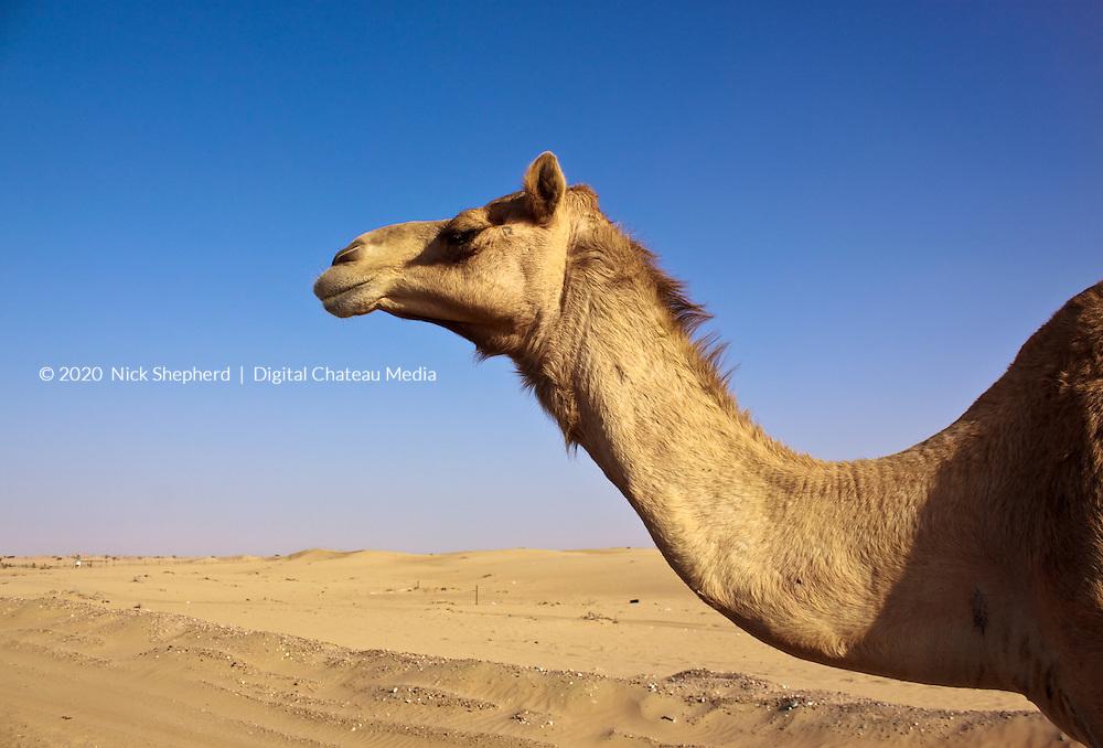 Camel roadside in Liwa, UAE