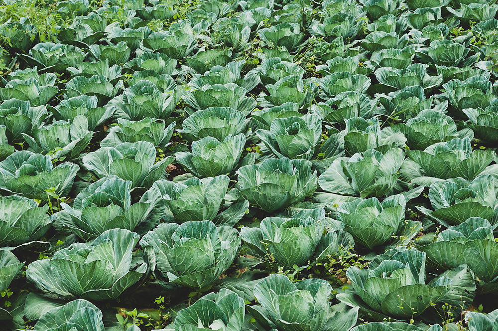 Kalaw, Myanmar - November 3, 2011: Cabbage grows in a field in the countryside of Shan State, several miles outside the town of Kalaw.