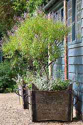 Lemon verbena - Aloysia triphylla AGM - growing in a wooden planters at Hidcote Manor garden