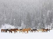 Horses on Triple Creek Ranch, Montana.
