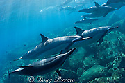 Hawaiian spinner dolphins or Gray's spinner dolphin<br /> ( Stenella longirostris longirostris ) socializing -<br /> rubbing each other with snout and pectoral fins<br /> Kona - Hawaii ( Big Island ) Hawaiian Islands<br /> ( Central Pacific Ocean )