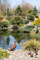 The pond and rock bank at John Massey's garden. Extensive use of conifers. Ornamental ducks in the foreground