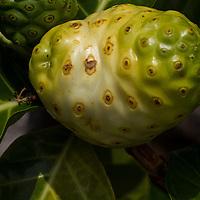 Noni Fruit, Big Island Hawaii
