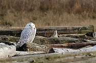A Snowy Owl (Bubo scandiacus) sleeps on the logs Boundary Bay in Delta, British Columbia, Canada