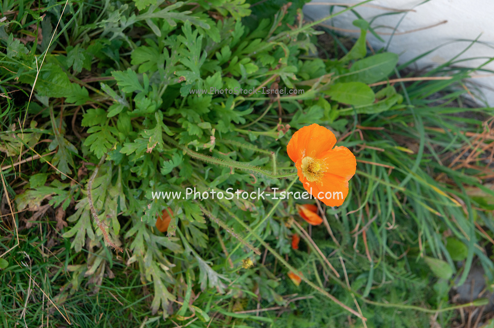 wild Orange Poppy Photographed in Switzerland in September