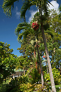 Roystonea regia (royal palm) with infructescence and Crytostachys renda (Sealing wax palm) in front of the main house in the Sunnyside Garden, St. George's, Grenada, the West Indies, the Caribbean