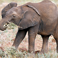 Africa, Kenya, Meru. Young elephant learns to work with trunk.