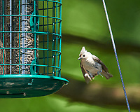 Tufted Titmouse. Image taken with a Nikon D800 camera and 600 mm f/4 VR lens.