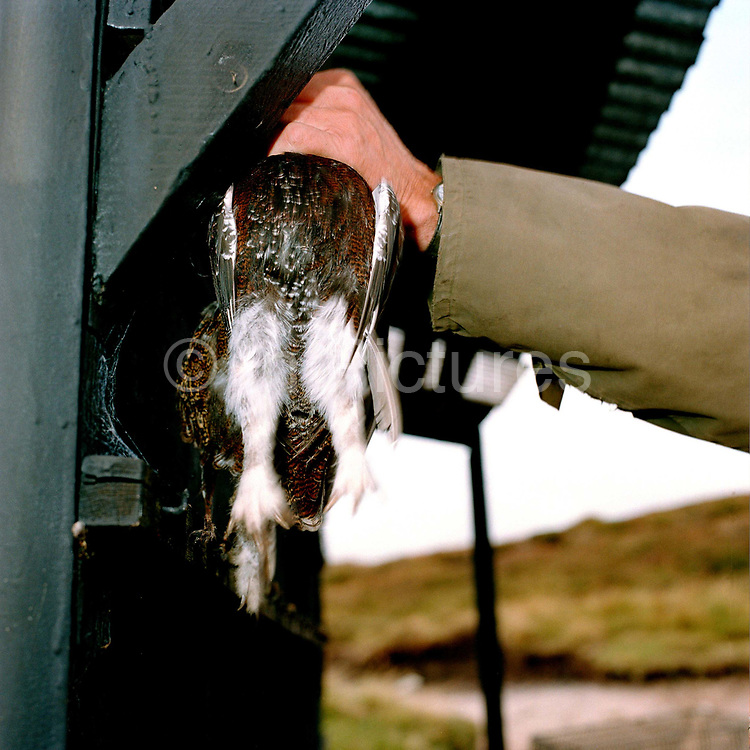 A gamekeeper hangs a grouse in a temporary game larder at a shoot in Nidderdale, North Yorkshire, UK