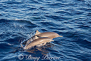 female and calf eastern spinner dolphins, Stenella longirostris orientalis, porpoising out of the water, offshore from southern Costa Rica, Central America ( Eastern Pacific Ocean )