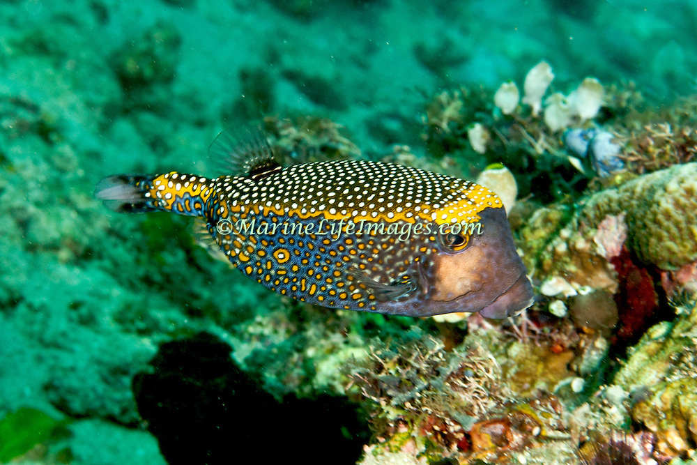 Spotted Boxfish inhabit reefs. Picture taken Ambon, Indonesia.