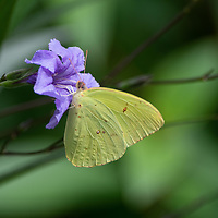 Cloudless sulphur butterfly extracting nectar