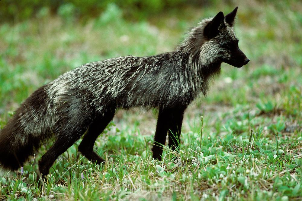 Red Fox in summer coat (dark phase) - Alaska