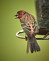 House Finch Image taken with a Nikon D5 camera and 600 mm f/4 VR telephoto lens (ISO 800, 600 mm, f/4, 1/640 sec)
