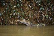 Dwarf Caiman (Paleosuchus sp.)<br /> Tiputini River, Adjacent to  Yasuni National Park, Amazon Rainforest<br /> ECUADOR. South America<br /> HABITAT & RANGE: