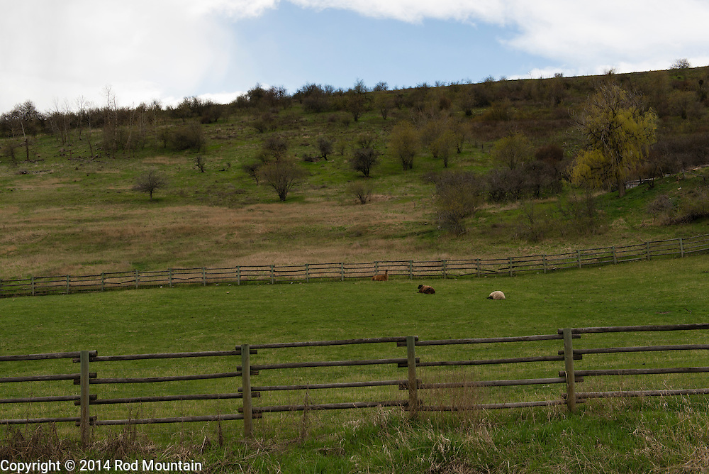 A lama sits in the distance with two sheep on an Okanagan farm.
