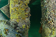 Marine life growing on dock<br /> Ambergris Caye<br /> Belize<br /> Central America