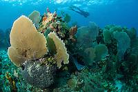 Diver above healthy reef...Shot in British Virgin Islands