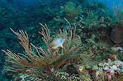 Redband Parrotfish (Sparisoma aurofrenatum)<br /> Hol Chan Marine Reserve<br /> near Ambergris Caye and Caye Caulker<br /> Belize<br /> Central America