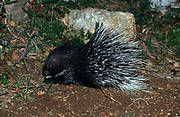 Indian Crested Porcupine (Hystrix indica), or Indian Porcupine is quite an adaptable rodent, found throughout southern Asia and the Middle East. It is tolerant of several different habitats: mountains, tropical and subtropical grasslands, scrublands, and forests.Photographed in Israel In March