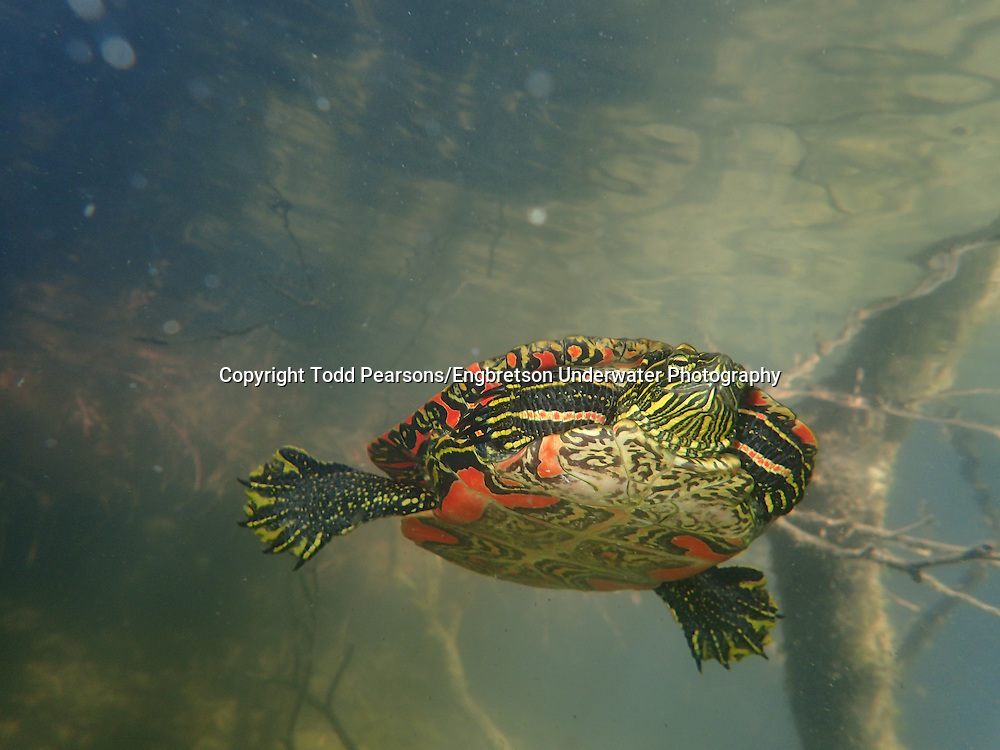 Western Painted Turtle<br /> <br /> Todd Pearsons/Engbretson Underwater Photography
