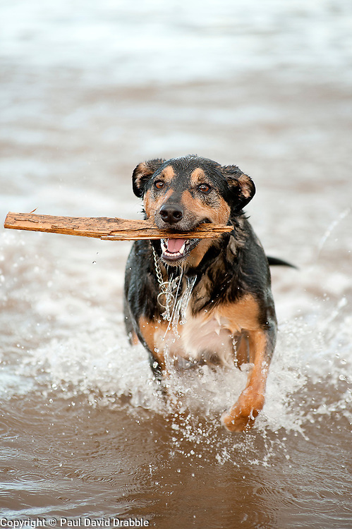 After loosing his ball on the beach Wallace recovers a piece of drift wood from the sea..14th September2011 Image © Paul David Drabble