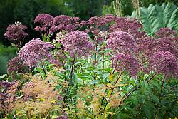 Eupatorium maculatum (Atropurpureum Group) 'Purple Bush' AGM