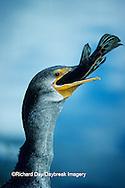 00673-00118 Double-crested Cormorant (Phalacrocorax auritus) eating fish, Everglades NP   FL