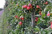 Nederland, Boven Leeuwen, 2-9-2017Poolse arbeiders, plukkers, halen de appels en peren van de bomen in een boomgaard.Foto: Flip Franssen
