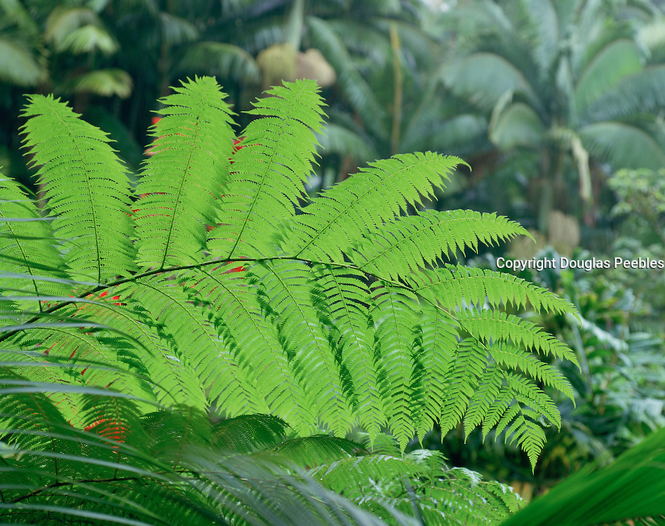 Ama'u Fern, Hawaii Volcanoes National Park, Island of Hawaii, Hawaii, USA<br />