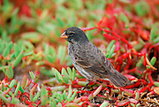 Darwin Finch bird, Santa Cruz, the Galapagos Islands, Ecuador