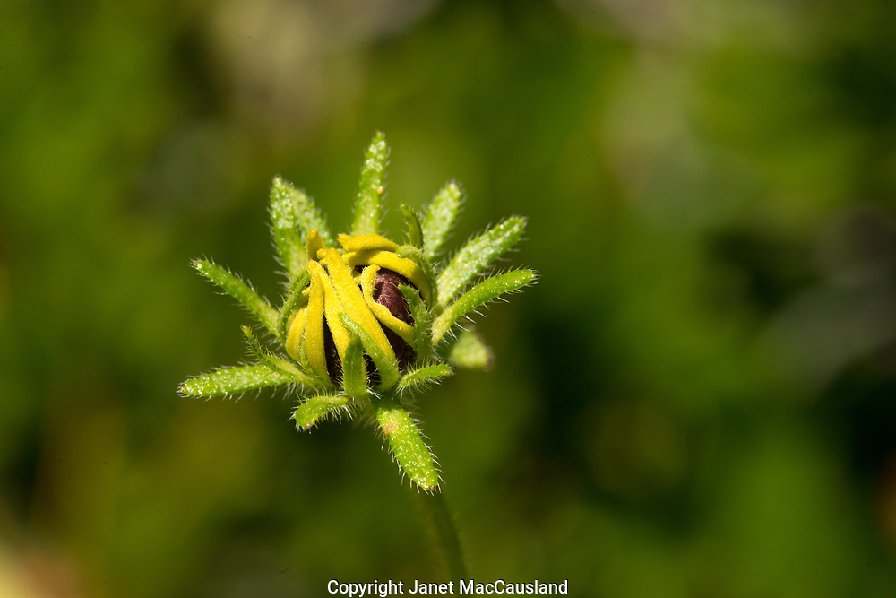 Yellow petals on a Black-eyed Susan will soon spring open.