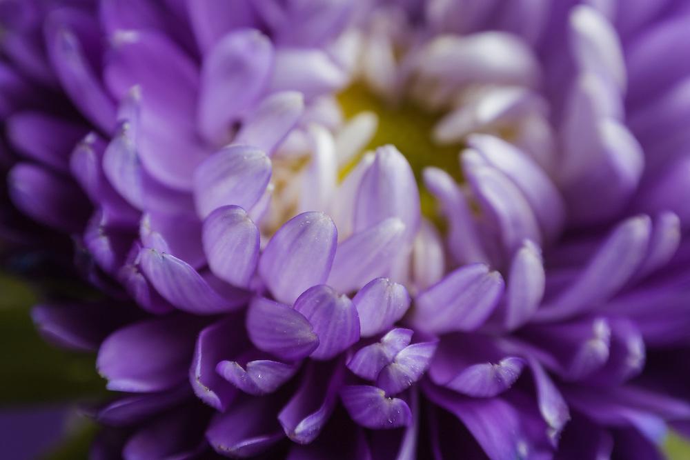 Macro photograph of a lavender mum.