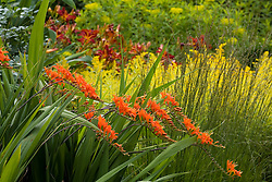 Crocosmia masoniorum with Solidaster lutens 'Lemore' in the Cottage Garden at Sissinghurst Castle