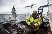 Edinburgh, Scotland. August, 2017. A seagull steals a fish from the shelf where Robert Johnson senior is selecting the prawns on August 31, 2017 near Edinburgh, Scotland. Port Seton is one of the few East Lothian harbours to maintain a fishing fleet, but the harbour has seen a sharp drop in fishing in recent years, forcing many to abandon the industry. Father and son, with the same name, Robert Johnson, were forced to sell one of their trawlers due to a decrease in crustacean yields, but they still continue to brave the North sea conditions to bring in their daily catch.  © Simone Padovani