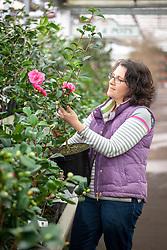 Choosing a camelia plant in a garden centre