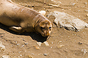 Elephant Seal (Mirounga angustirostris), Monterey Bay National Marine Sanctuary, San Simeon, California