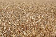Nederland, Millingen, 24-7-2017 Een veld met tarwe, graan wordt door een combine geoogst. Tarweveld, graanveld. Door het droge en warme weer wordt de tarwe vroeg van het land gehaald en is de oogst minder groot . Foto: Flip Franssen