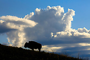 Bison silhouetted against storm clouds at the National Bison range in Montana.