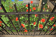 city home garden with red tulips