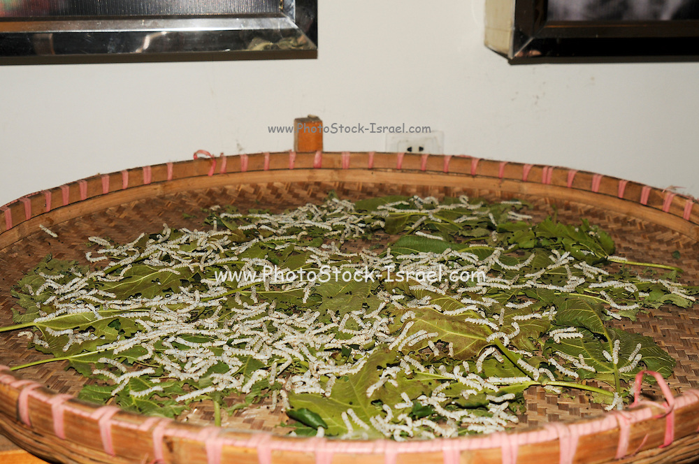 China, Shanghai Silk factory visitor Center silkworm larva on Mulberry leaves