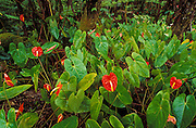 Anthurium flowers in a tree fern forest, The Big Island, Hawaii USA