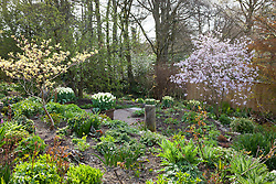 Looking over Alice and Annie's gardens. Tulipa 'Purissima' in square terracotta pots, Magnolia x loebneri 'Leonard Messel'  and Cornus controversa 'Variegata'