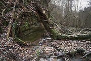 Fallen tree overgrown with fungi arching over Tildurga stream and sandstone cliff along it in forest, Gauja National Park (Gaujas Nacionālais parks), Latvia Ⓒ Davis Ulands | davisulands.com