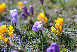 THEMENBILD - lila und gelbe Krokusse (Iridaceae) blühen auf einer Wiese, aufgenommen am 13. März 2018, Piesendorf, Österreich // purple and yellow crocuses bloom in a meadow on 2018/03/13, Piesendorf, Austria. EXPA Pictures © 2018, PhotoCredit: EXPA/ Stefanie Oberhauser