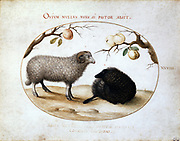 Ram, Black Sheep and Apples' Joris Hoefnagel , also known as George Hoefnagel (1542-1601) Flemish painter and engraver. Watercolour