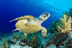 Eretmochelys imbricata, Echte Karettschildkröte am Korallenriff, Hawksbill Sea turtle in coralreef, Brother Inseln, Rotes Meer, Ägypten, Brother Islands, Red Sea Egypt