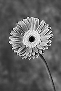 Gerbera flower in black and white.