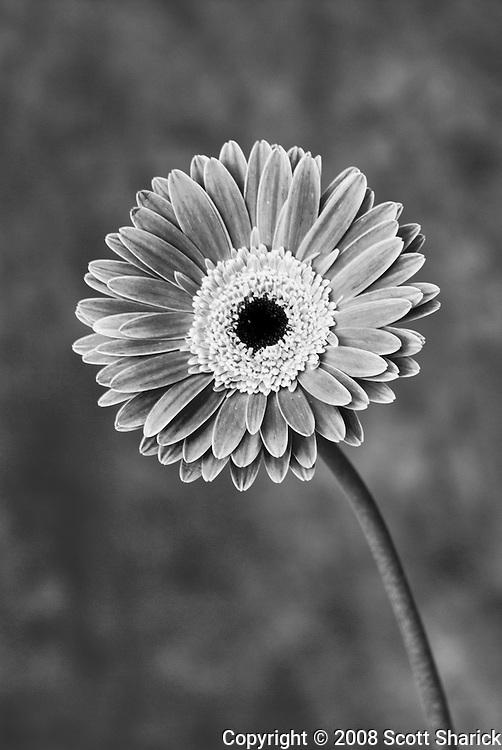 Gerbera flower in black and white.